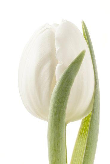 Tulp /Tulip van Tanja van Beuningen