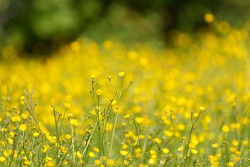 Blumenwiese Butterblumen von Ostfriesenfotografie