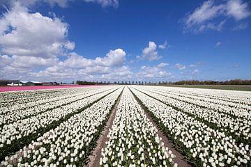 Hollandse bloeiende tulpen onder een blauwe lucht. van Maurice de vries