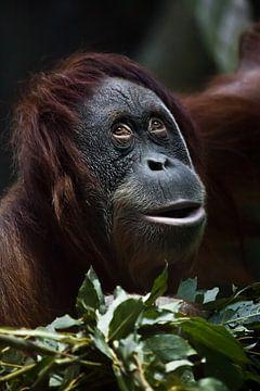 Een sluwe verraste orang-oetan tegen een achtergrond van groen, een close-up gezicht, een blik alsof van Michael Semenov