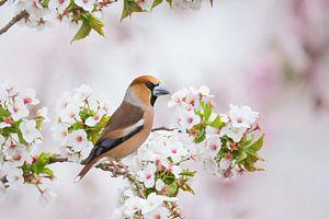 Apfelfink in der Blüte