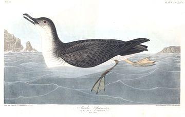 Noordse Pijlstormvogel van
