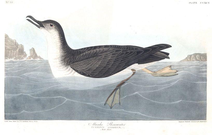 Noordse Pijlstormvogel van Birds of America