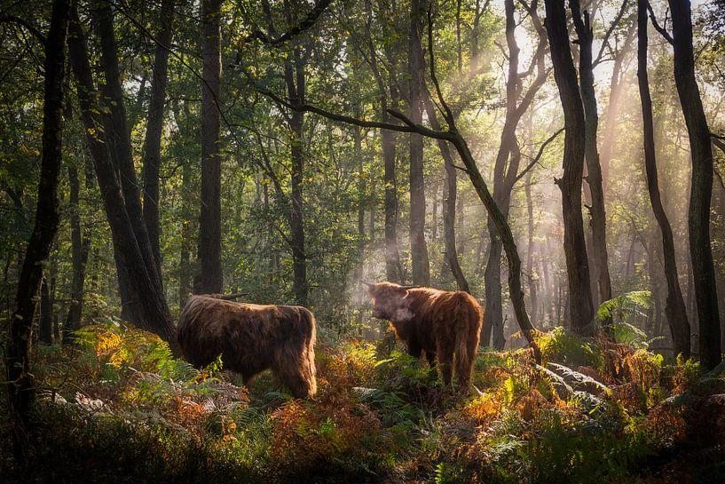 Schotse Hooglanders in het bos op de Veluwe van Edwin Mooijaart