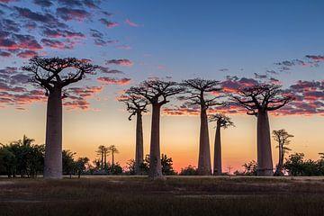 Die Allée des baobabs bei Sonnenuntergang von Annette Roijaards