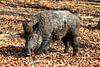 Groot zwijn in het bos van Dennis van de Water thumbnail