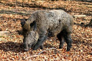 Groot zwijn in het bos