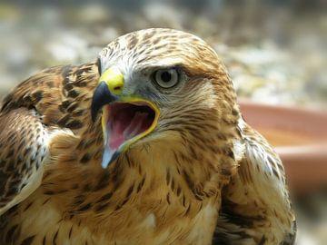 """""""de schreeuw"""" , maar dan van een roofvogel ... van"""