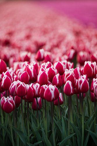 Tulpen in de avondzon