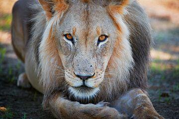 Porträt eines männlichen Löwen, Löwe van Jürgen Ritterbach