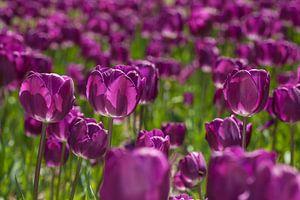 Violettes Tulpenmeer von Martin Steiner