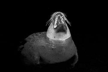 Zeeleeuw Zwart Wit van Felix Brönnimann