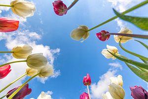 einzigartige Perspektive Tulpen von Robin van Maanen
