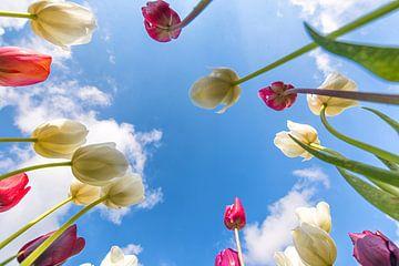 uniek perspectief tulpen van Robin van Maanen
