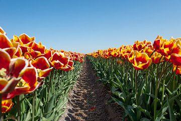 Geel en rode tulpen in een bollenveld van Wim Stolwerk