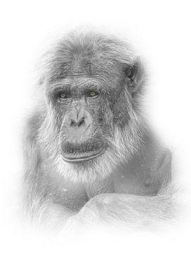 Oude chimpansee / Highkey foto von Ron Meijer