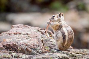 Eekhoorn , Squirrel van