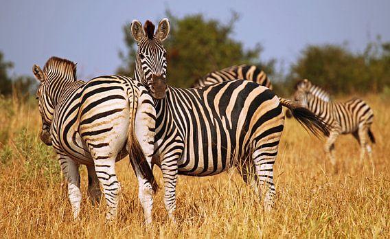 Zebras in Südafrika - Afrika wildlife
