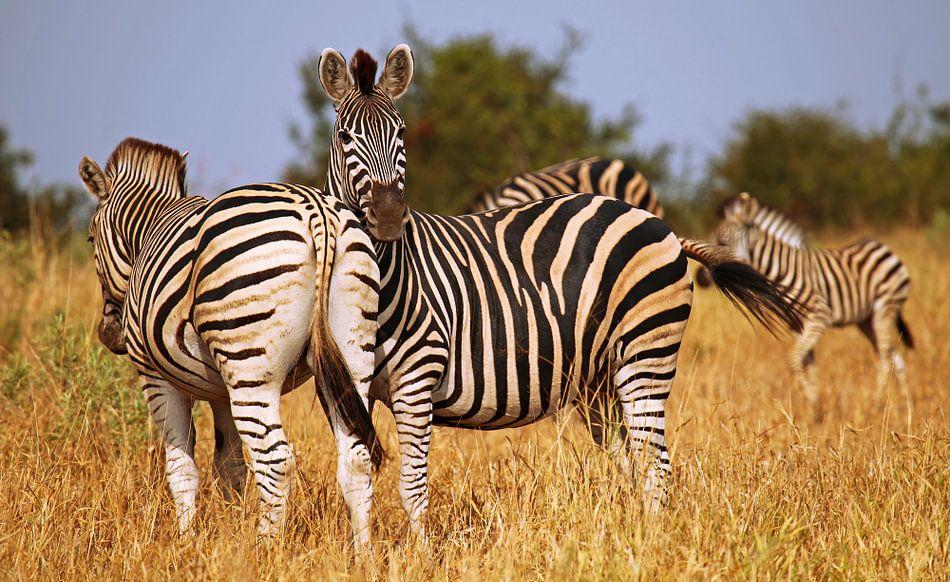 Zebras in South Africa - Afrika wildlife van W. Woyke