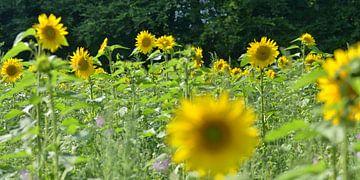 Zonnebloemen van Gerard Veerling
