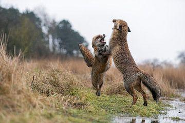 European Red Foxes ( Vulpes vulpes ) in hard fight, standing on hind legs van wunderbare Erde