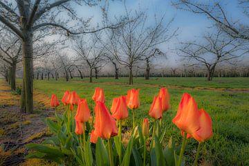 Tulpen in fruitboomgaard 02 von Moetwil en van Dijk - Fotografie
