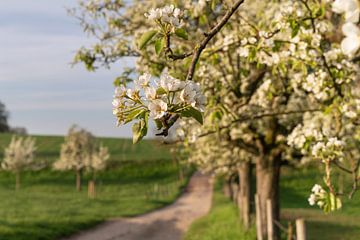Obstbaumblüte im Frühling, Bergisches Land, Deutschland von Alexander Ludwig
