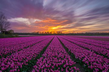 Herrlicher Sonnenuntergang in ein Tulpenfeld in Vogelenzang (Niederlande) von Ardi Mulder