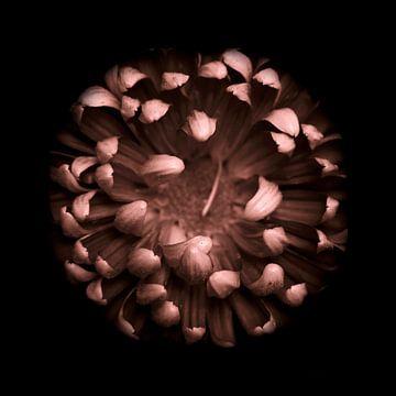Chrysant in het donker vierkant sur Mirakels Kiekje