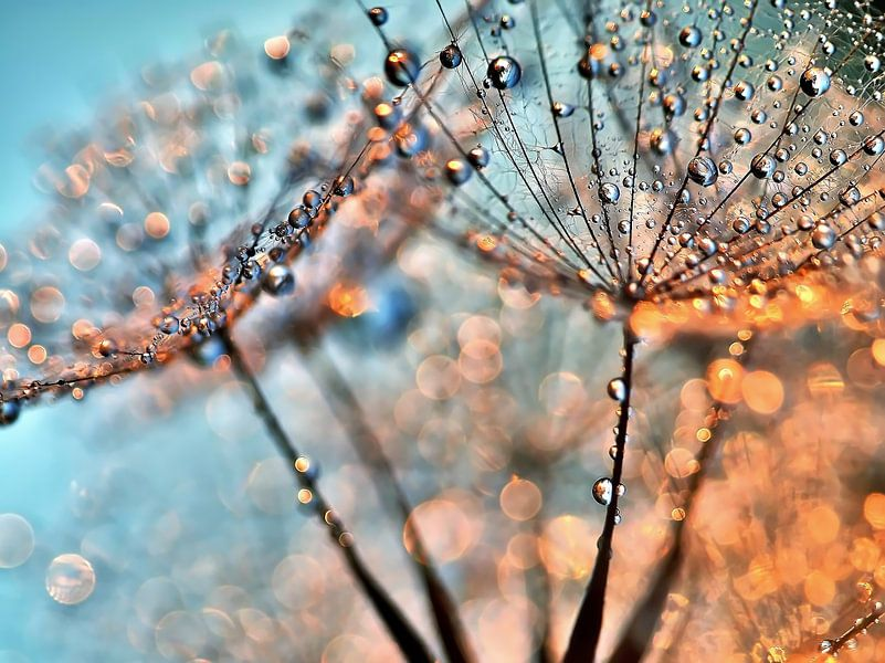 Pusteblume Lichtreflexe von Julia Delgado