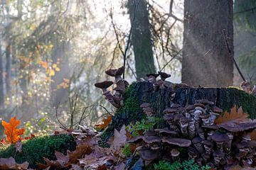 Pilze im sonnigen Herbst, nebliger Morgen - Honigpilz am Baumstamm im Wald und goldene Blätter von John Ozguc
