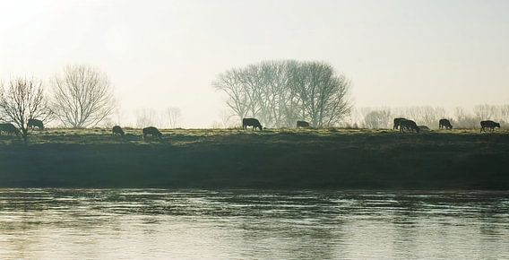 Koeien aan de Maas