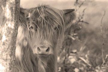 Schotse hooglander Sepia van Hans Oudshoorn