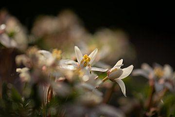 lente van