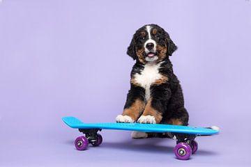 Un petit bernois sur un skateboard sur Elles Rijsdijk
