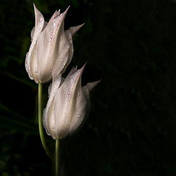 witte tulpen van Christine Nöhmeier