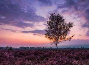 Purple heather  van