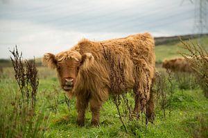 Schotse hooglander (rund) von Above The Grid