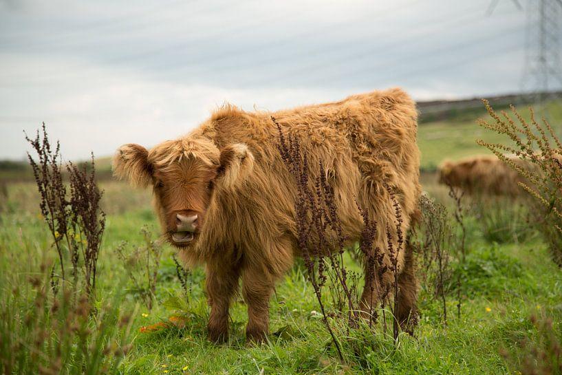 Schotse hooglander (rund) van Above The Grid