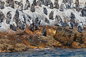 African penguins van Jolene van den Berg