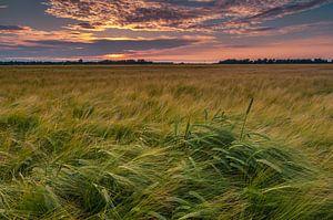 Korenveld bij zonsondergang