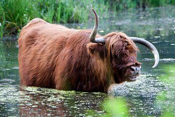Schotse hooglander met vreemde hoorns in het water van Peter de Kievith Fotografie