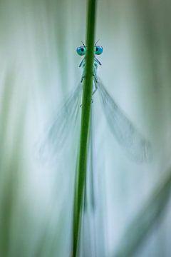 Azuurwaterjuffer van Martzen Fotografie