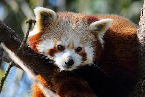 Rode Panda ligt op de loer van