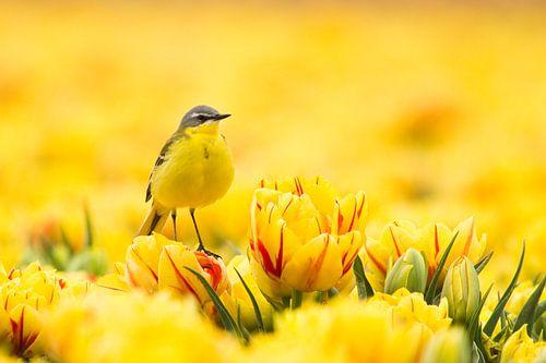Lente Geel  van
