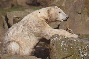 IJsbeer : Ouwehands Dierenpark van Loek Lobel