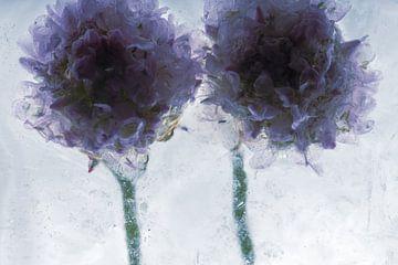 Grasnelke in Eis 3 von Marc Heiligenstein