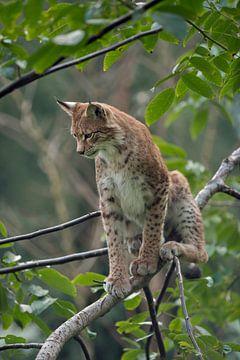 Luchs ( Lynx lynx ) sitzt in einem Baum, schaut herab, Europa. von wunderbare Erde