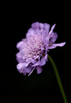 Veldweduwskruid - Knautia arvensis van Iris Volkmar