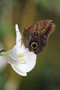 Vlinder op een orchidee von Clicksby JB
